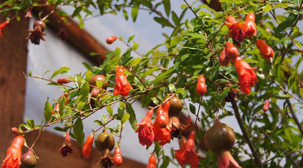 Комнатный гранат символизирует достаток, любовь и гармонию. И если вам повезет и ваш гранат зацветет необыкновенными красными цветами «с юбочкой» - мир, любовь и благополучие никогда не уйдут из вашего дома!