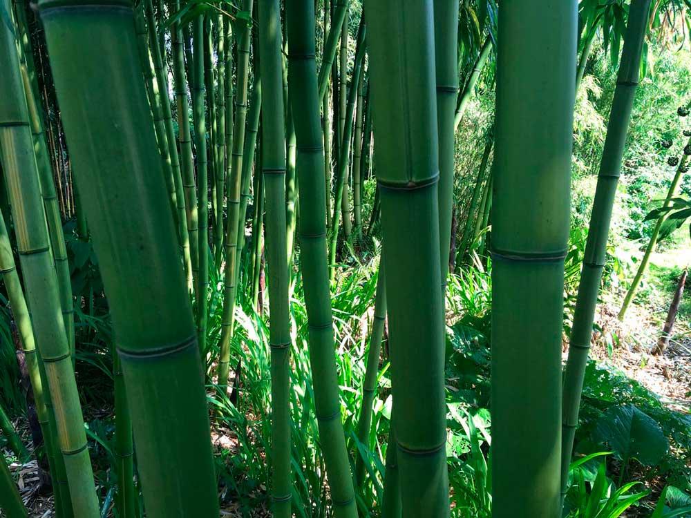 """Бамбук """"Phyllostachys"""""""