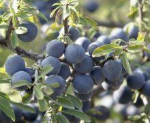 Рецепт домашнего вина из терна