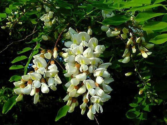 Настойка цветов белой акации