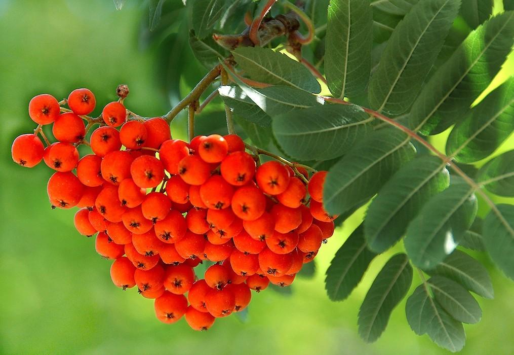 Самогон и брага из черноплодной и красной рябины в домашних условиях