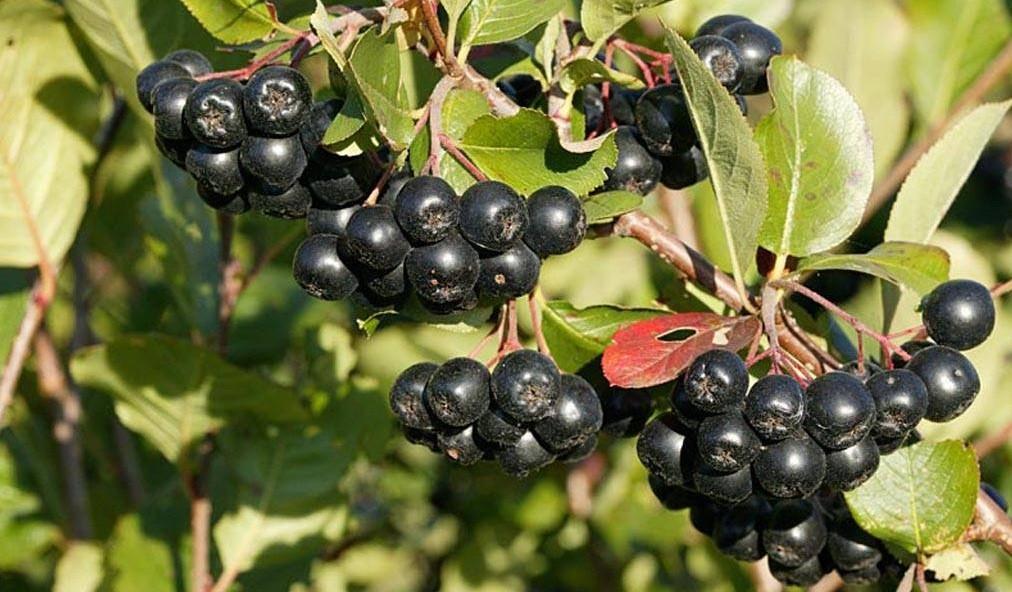 Брага, основанная на черноплодной рябине (аронии)